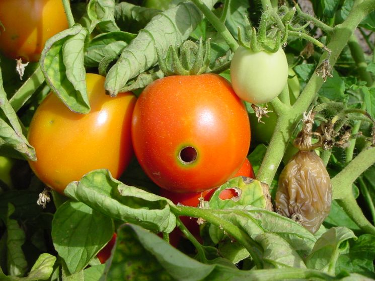 Verme che buca i pomodori forum di for Malattie pomodoro